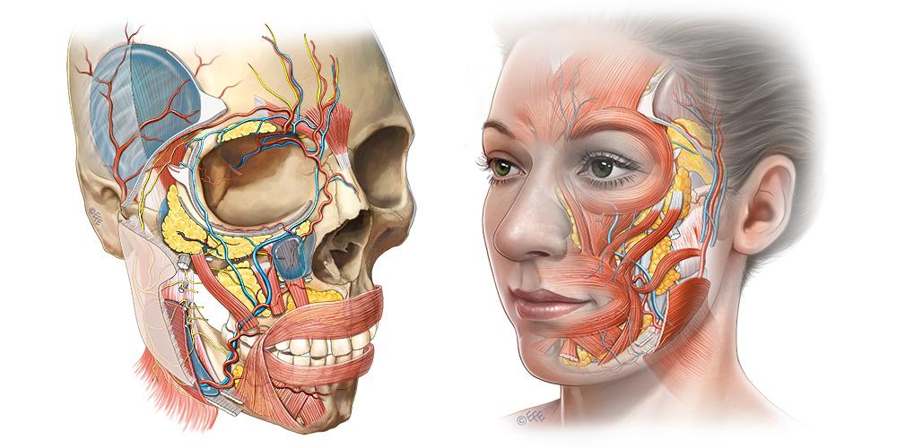 Facial layers _ slide deck