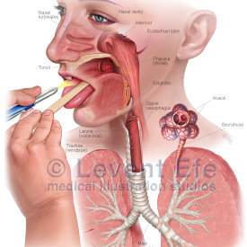 Anatomy of the Nasal, Oral Cavities and Throat